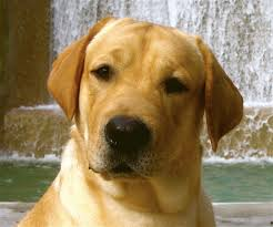 Labrador Yellow