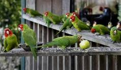 pull parrots