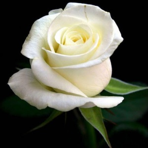 pull-rose