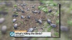 yolo-dead-birds